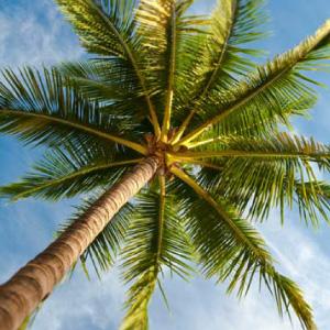 palm-tree-al