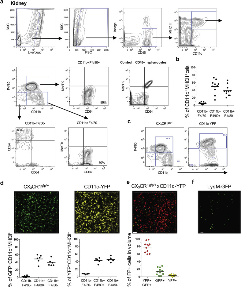 Renal dendritic cells sample blood-borne antigen and guide