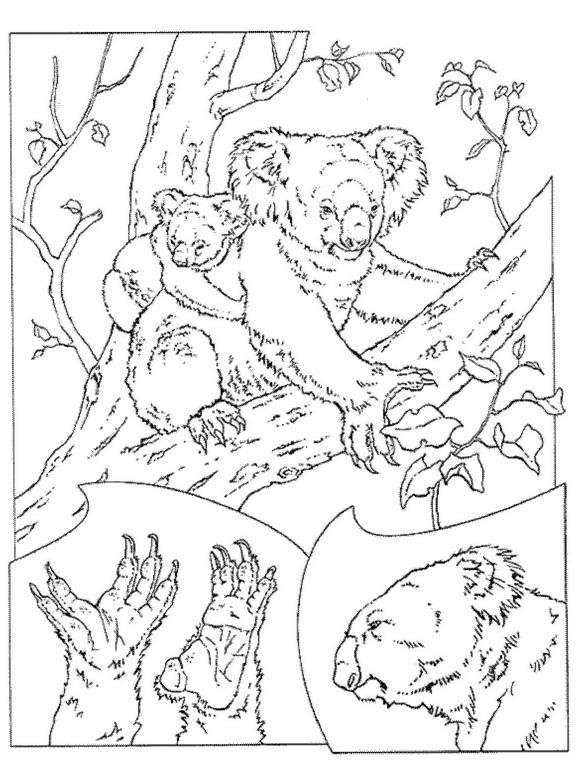 Kids-n-fun Malvorlage Koala Bären Koala Bären