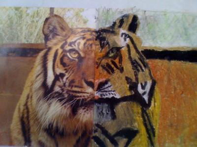 Animal Drawings - Tiger