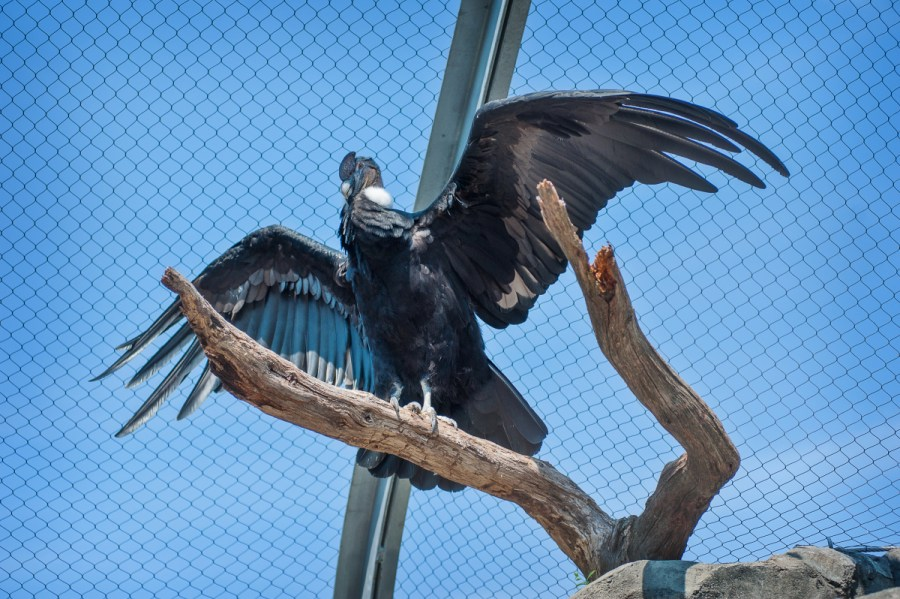 Lurch, a male Andean Condor, spreads his wings