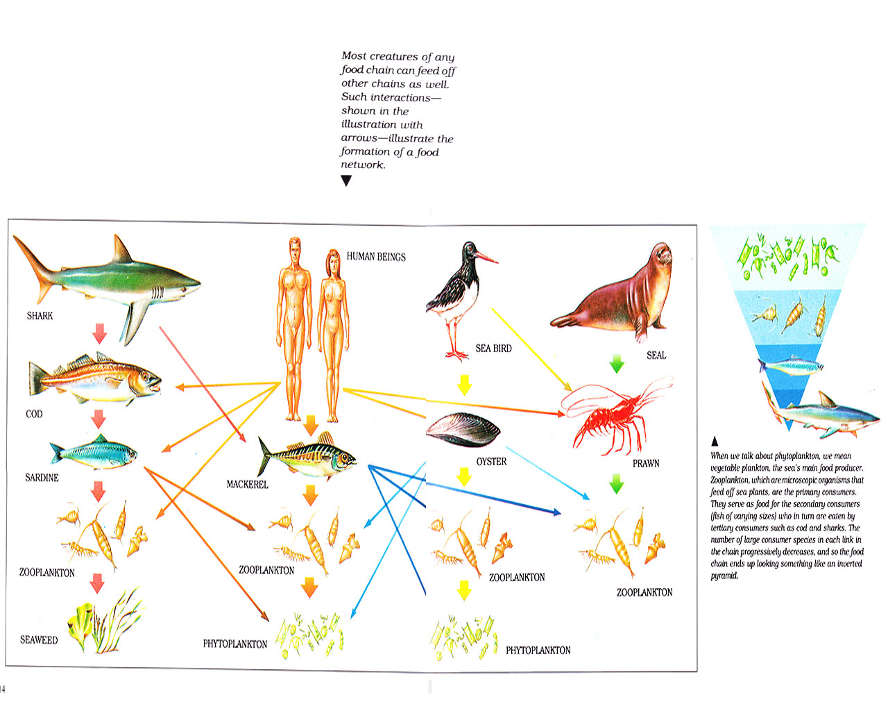 pacific ocean food web diagram xentec hid wiring 9007 turtle chain bony fish elsavadorla