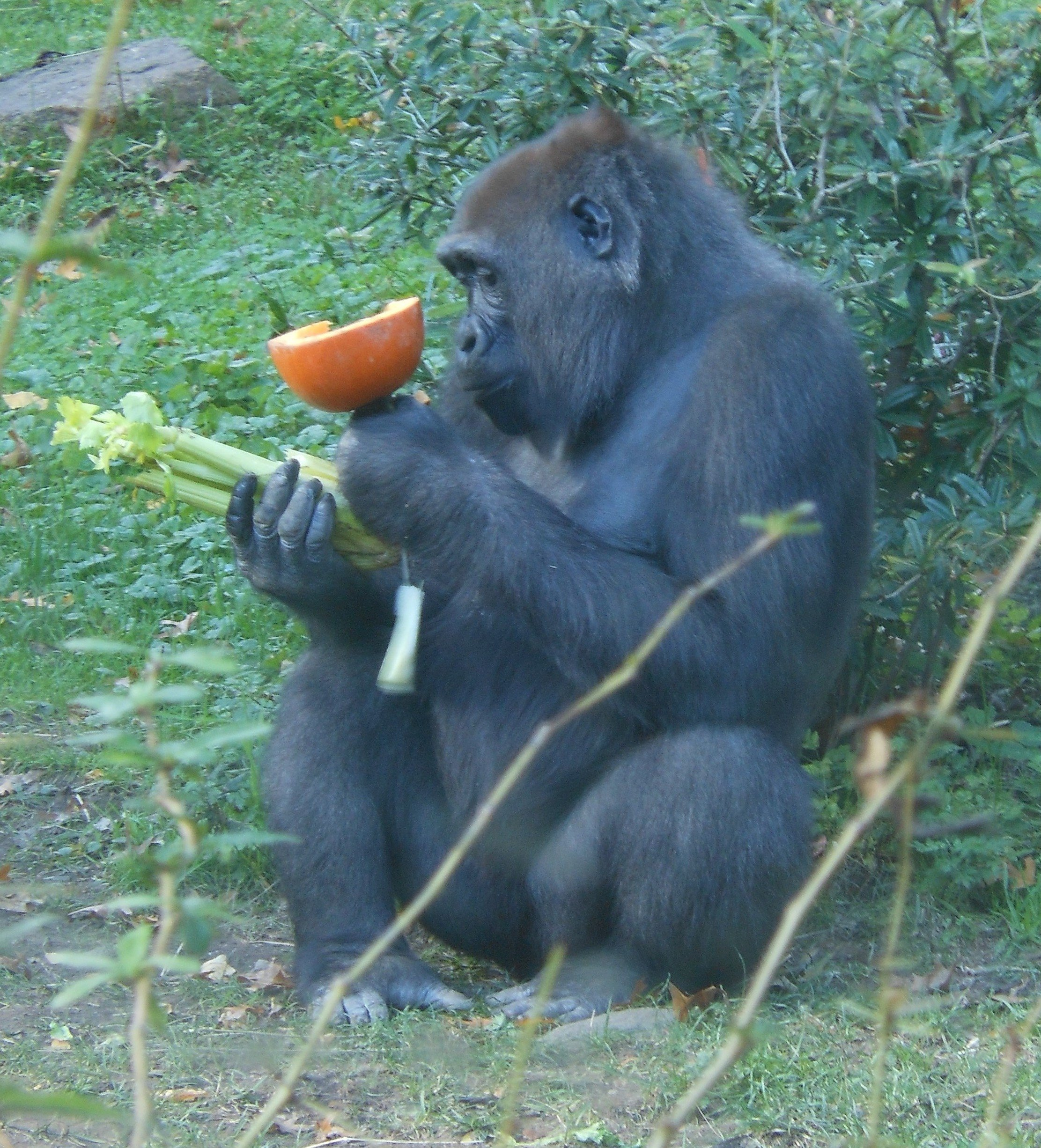 cool gorilla facts for kids