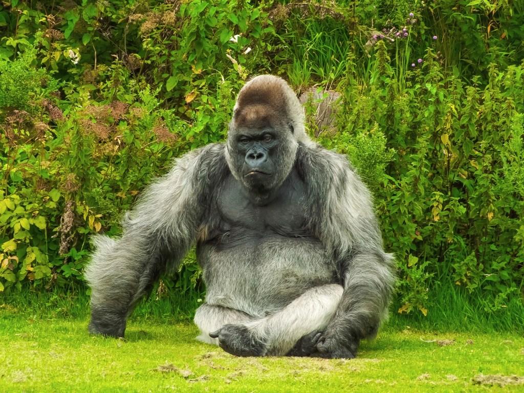 Gorilla sitting in grass