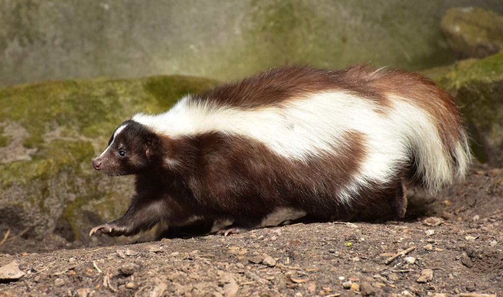 skunk walking through the woods