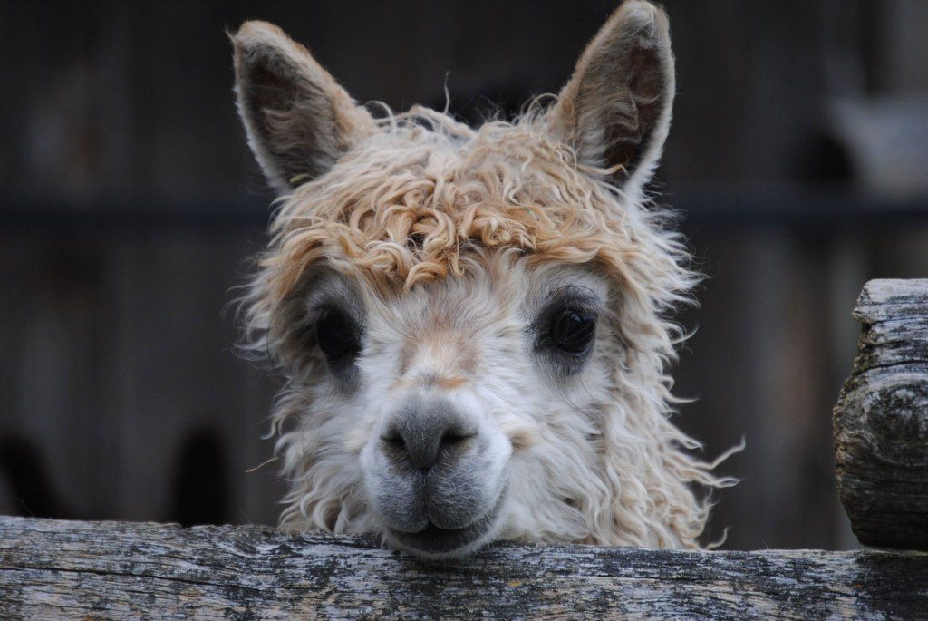 Baby Llama face