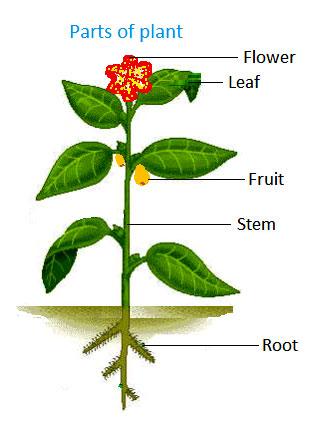 parts of a flowering plant diagram 1998 honda crv wiring flower for kids