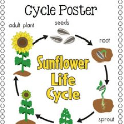 Bean Seedling Diagram Ramsey Winch Solenoid Wiring Life Cycle Of A Plant | Science Lessons And Worksheets For Children