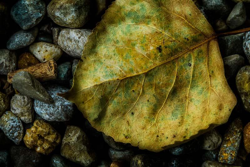 leaffffe