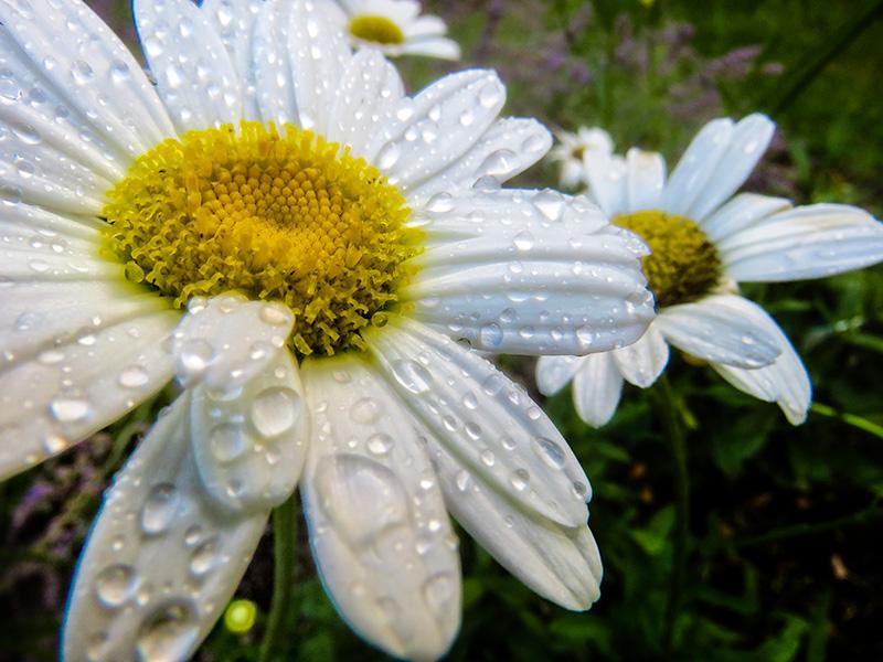 rainydaisy