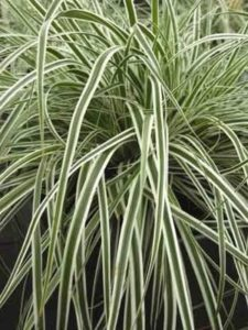 grass everest variegated japanese
