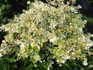 Abelia Twist Of Lime Kiefer Landscaping Your Landscaping Experts