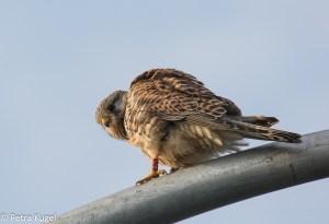 Torenvalk (Falco tinnunculus)