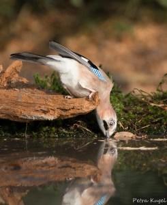Gaai: reflectie in het water