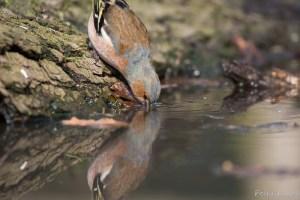 Vink: reflectie in het water