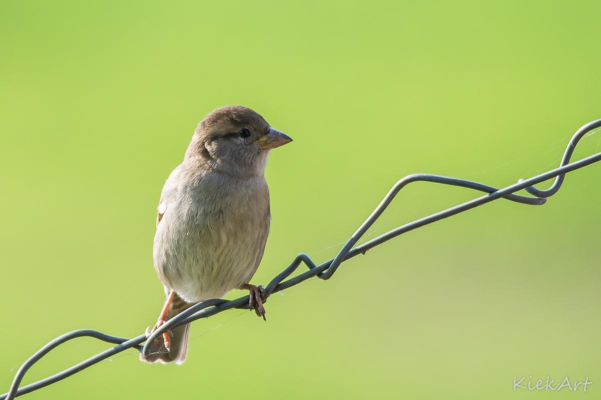Vogels Nederland Tuin : Vogels kiekart