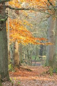 Herfst in het Midwolderbos