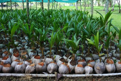Coconut Nurseries