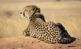 Cheetah resting in Serengeti Plain