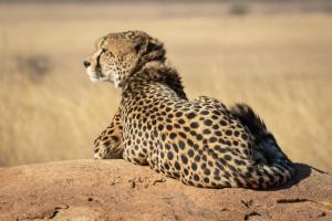 Cheetah resting in Serengeti Plain