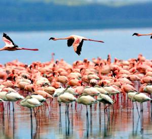 Lake Manyara National Park Flamingos