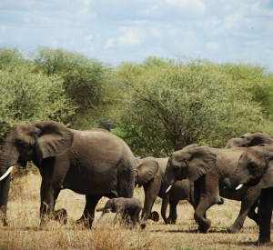 Tarangire Elephants Group