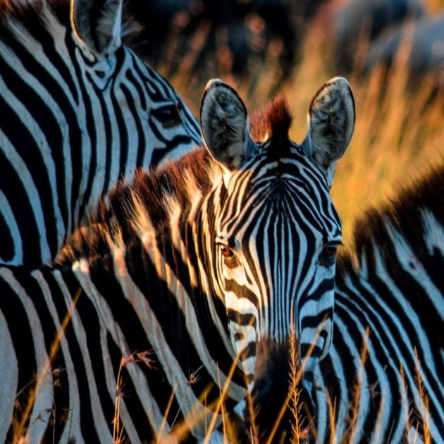 Zebras in Serengeti, Tanzania