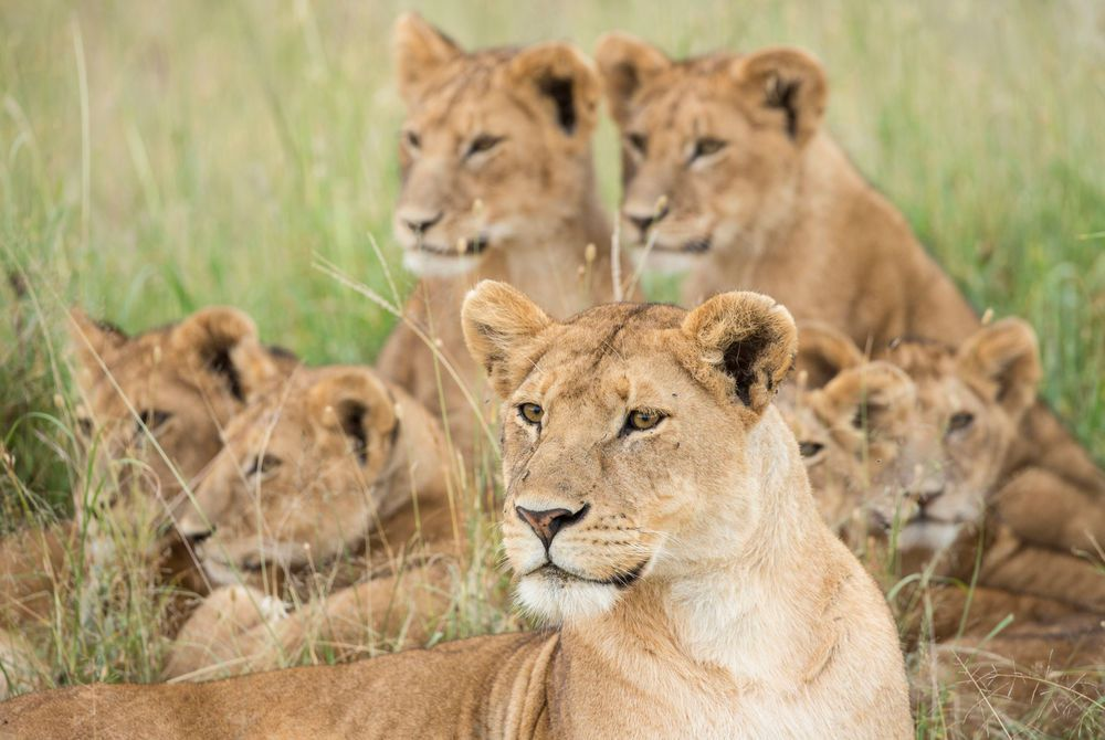 LION FAMILY IN SERENGETI