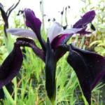 IrisChrysosgraphes