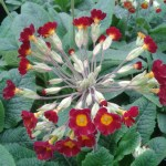 Primula veris Sunset Shades
