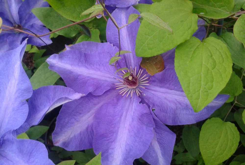 Plant of the Week – Clematis 'The President'