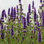 Agastache-Black-Adder