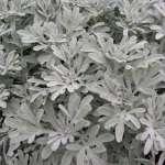 ArtemisiaBoughtonSilver