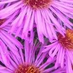 Aster Pink Parfait