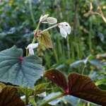 Begonia Claret Jug