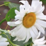 LeucanthemumNorthernLights