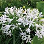 Agapanthus-White-Heaven