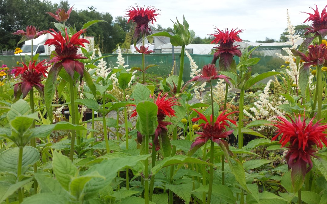 Our Plant of the Week- Monarda 'Cambridge Scarlet'