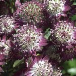 Astrantia-major-Star-of-Beauty