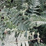 Dryopteris-affinis-cristata-The-King