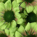 Echinacea-purp.-Green-Envy