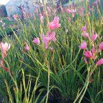 Hesperantha-Pink-Princess