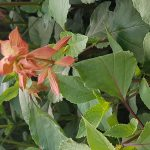 Salvia-Ember-Wish