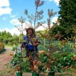 Kauri Baum Pflanzen in Neuseeland