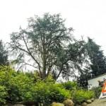 Kroneneinkürzungen Hamburg Kilpatrick Baumpflege Nachher