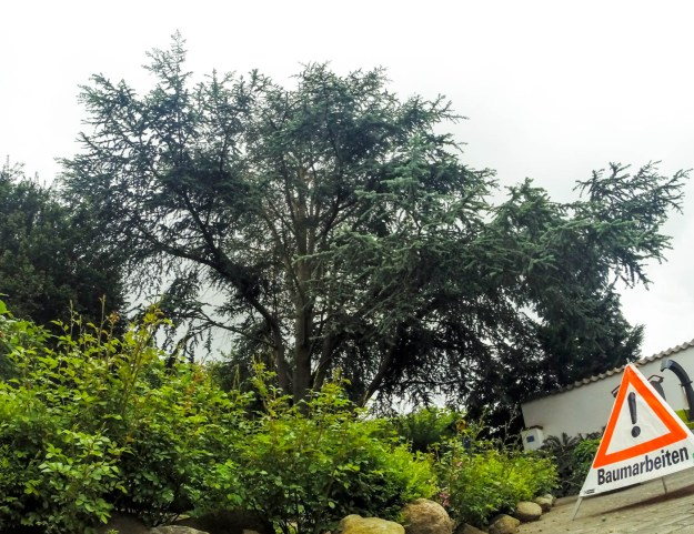 Cedar Kroneneinkürzung Hamburg baumpflege