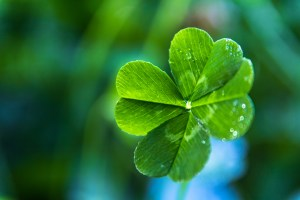 A close up of a real green 4-leaf clover with dew on it and a blue and green soft-focus background