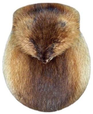 Full Mask Brown Muskrat Sporran