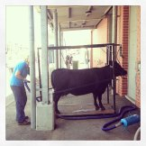Day spa for cattle