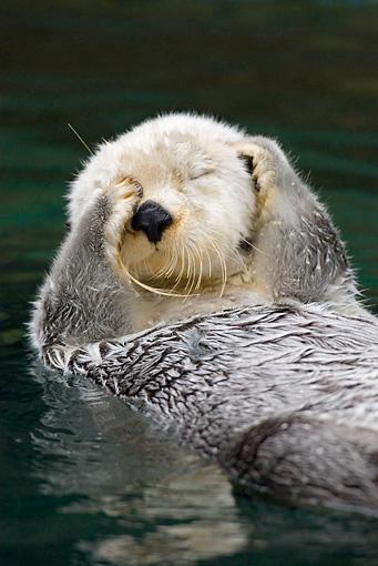 Otter Cute Wallpaper 【動画有り】ラッコが目をふさぐ理由が可愛すぎたww Naver まとめ